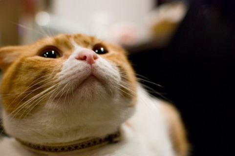 悪そうな顔をした猫