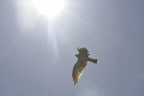 空を飛ぶ鳶