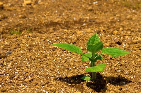 土から芽を出す草