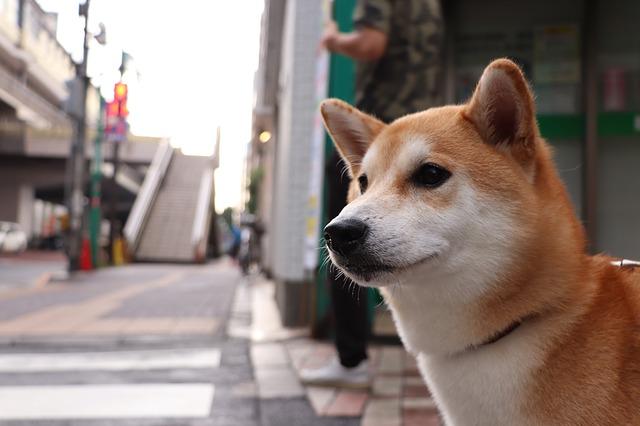 愛らしい柴犬